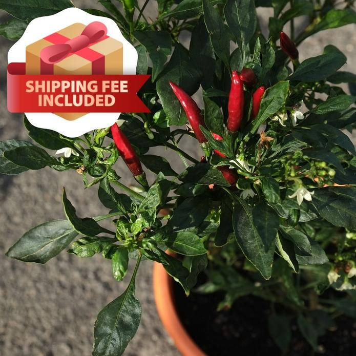 Melon & Beans Home Package - VE-017 F1 Extreme Yield Red Chili | Vegetable Garden | Home Garden | Baba Gardening