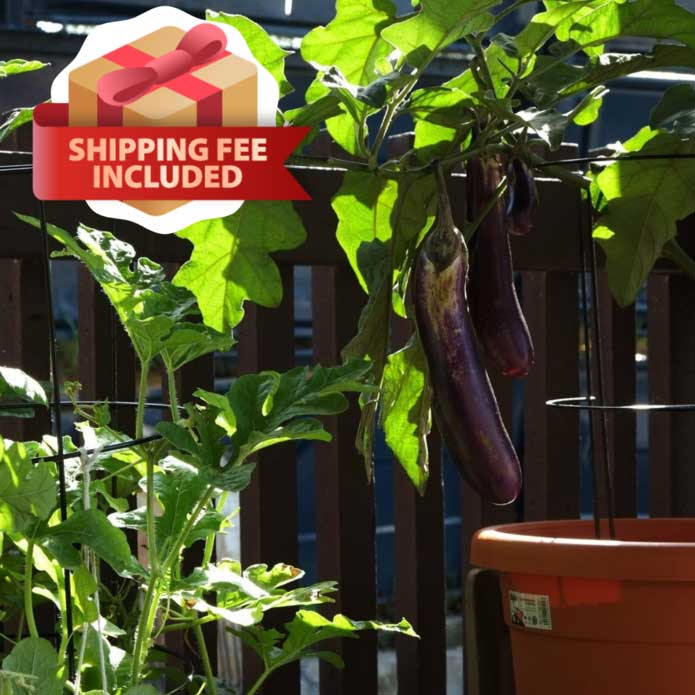 Melon & Beans Home Package - VE-023 F1 Long Brinjal | Vegetable Garden | Home Garden | Baba Gardening