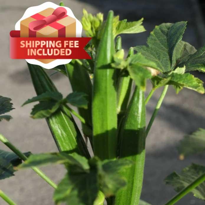 Melon & Beans Home Package - VE-045 F1 Okra Big Horn | Vegetable Garden | Home Garden | Baba Gardening