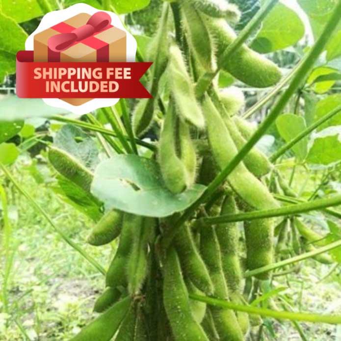 Plant Edamame at home! | Vegetable Garden | Home Garden | Baba Gardening