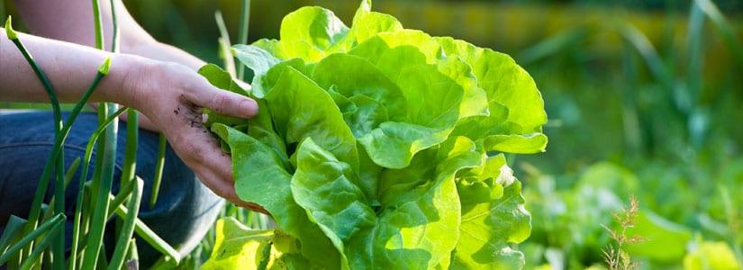 Vegetable Garden | Home Garden | Baba Gardening